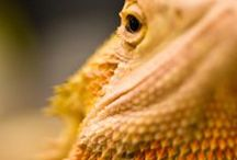 Bearded Dragons / Random Bearded dragon photos from all over the internet. For more see http://www.beardeddragons.co.za