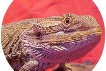 Bearded Dragon Articles / Bearded dragon care info articles posted from BeardedDragons.co.za