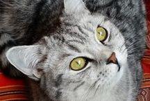 Cachemire, Silver Tabby / My Silver tabby British Shorthair
