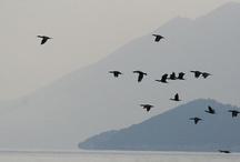 Birds of Lake Skadar, Montenegro