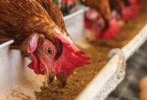 Homestead Chickens / Your ultimate guide on how to raise chickens for your homestead. From DIY chicken coops to feed, and for all your poultry needs. www.pioneersettler.com