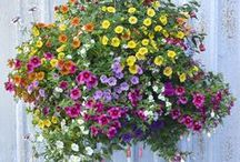 Hanging Baskets / Hanging baskets all Spring and Summer, bursting with blooms. Check out all the beautiful displays and flower combinations available for your home. From your friends at West Coast Gardens in Surrey, BC. www.westcoastgardens.ca