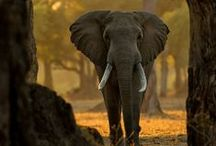 Animals - African wildlife - Safari / by Tine