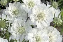 All White Plants for the Garden / For those who love white blooms in their garden all summer long!! From your friends at West Coast Gardens in Surrey, BC.