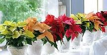 Pretty Poinsettias in Your Home / Keeping beautiful Poinsettia displays in your home this Christmas season! So many colours and varieties to choose from, how can you pick? #Surrey #Vancouver www.westcoastgardens.ca