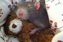Cute Ratties / Cute ratties and sometimes mice too! =^_^=
