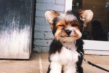 CUTENESS | PUPPIES / Adorable teddy bear-like puppies because one day I will own a dog and he will be called Chip.