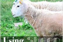 Sheep & Grass