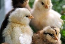 Chickens / by Kim Dickinson