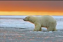 For The Love Of Polar Bears / I have created this board featuring some amazing images and gifts for all polar bear lovers.