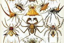 las uèch patas, aranhas : araneomorphae, les salticidae, les araignées paon ... / ... les octopodes ... les araignées, celles ci ne se font pas remarquer par leur taille (4 à 5 mm) mais par leurs couleurs et leurs parades amoureuses, elles déploient  une cape qui recouvre leur dos et se replie sous l'abdomen ,  technique de séduction chez les araignées paons, on peut les retrouver sur You Tube, comment en avoir peur, elles sont si jolies . Je ne suis pas spécialiste signalez moi les erreurs éventuelles .