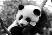 Pandas / Pandas are so cute. If you want to join the group email me at biahome4u@aol.com. I am a Baltimore area Realtor. Www.TheCordwellGroup.com