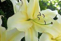 Lilies, liljor, liljat / Lilies, liljor, liljat