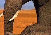 L'éléphant la force tranquille
