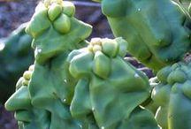 Blobs Knobs Cobs / Caudiciforms, penis plants ...