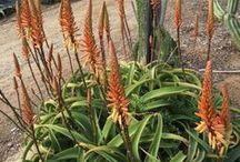 Flame-Out Succulents / Fire-resistant succulents