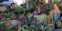 Lawn-Be-Gone Succulents