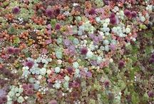Off the Wall Succulents / Succulents on roof tops, vertical walls, horizontal walls, and up against the wall.