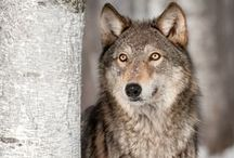 Call of the Wolf / Call of the Wolf books and inspiration