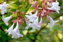 Small Flowering Shrubs / Small shrubs with beautiful flowers to add delightful colour to the garden.