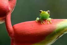 Ranas / frogs & toads