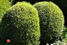 Our Topiary Plants / Our selection of hedging plants best suited for Topiary in your garden. Order online, delivered from our nursery to your door from $2.60 a plant + P&P