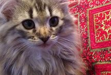 Cats / Sami, my Norwegian Forestcat and other cats