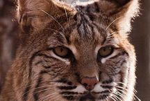 Bobcat reference