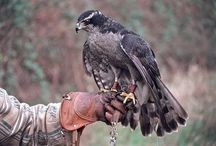 Falconry / For the love of birds