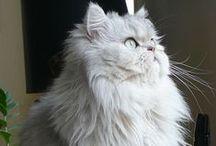Cat Breeds / The Cat Kingdom
