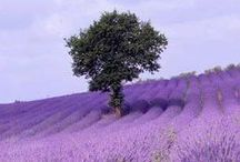 Lavender Lull / Images To Help Describe Our Lavender Lull 100% Natural Soap - www.soap.club