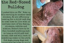 """Rosie the Red-Nosed Bulldog / Posted this on FB:  """" Woke up this morning to another dead chicken. We are officially looking for a child safe dog to come home to live with us and take care of the family, chickens, rabbits and kitties. Doesn't have to be full blooded anything just so long as child safe and animal safe and will bark if something comes in the yard. Old dogs, young dogs and pound dogs welcome to apply - Tessa and the chickies are doing the interviewing. Save our sweet chickens. Thank you.""""  God sent Rosie."""