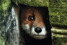 Fox / les renards !