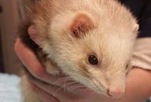 Ferret Information / For all of your ferret's veterinary needs