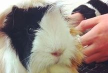 Guinea Pig Information / For all of your guinea pig's veterinary needs