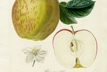 Botanical / illustrations