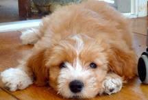 Things that make me smile / Tibetan Terrier Fabulous Tibbs Spirit of Happiness aka Tibbs!