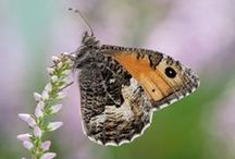 Cornwall's Wildlife / Beautiful photographs of Cornwall's insects and animals, from birds to bees, butterflies and other bugs.