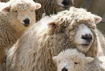 Schattige schapen