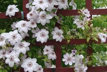 Garden clematis / PIN UNLIMITED ONLY FOR MY FOLLOVERS