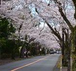 伊豆の桜 2016