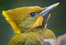 oiseau: pic, toucan, barbet, puffbird, ...