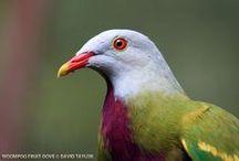 oiseau: columbidés
