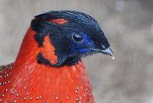 oiseau: faisan, paon, trogopan, lophophore...