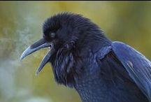 oiseau: pie, geai, corbeau ... ( passereaux)