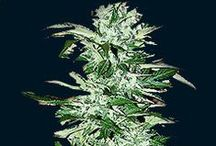 Single Seeds 7 Dwarfs / Since the inception of the autoflowering plant laboratories have been experimenting to the point of obsession to create a range of high yield, stable autoflowering seeds that produce marijuana of a truly exceptional quality. The 7 Dwarfs are the product of this fixation.