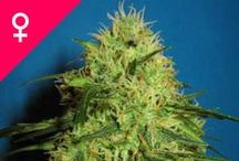 Weed Seed Feminized / Feminized cannabis seeds are the result of one of the greatest advances in cannabis breeding: the ability to create a seed crop where every single seed will produce a weed plant bearing large, powerful, pungent buds.