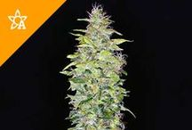 Weed Seed Automatics / By combining Ruderalis genetics with the finest existing marijuana strains, the good people on the cutting edge of cannabis breeding have created a selection of autoflowering seed strains that will surge into flower when they reach a certain age (usually only a few weeks) instead of needing a change in the light cycles to trigger the flowering period.