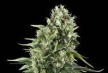 Royal Queen Seed Bank / Royal Queen Seeds is amongst the top rapidly-growing cannabis seeds breeders in Europe and hopes to become worldwide market leader within a few years.  Royal queen is a specialized cannabis seeds bank created by top breeders in the Netherlands.