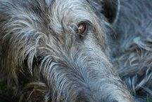 Sight Hound / Greyhounds, Borzois, Afghans, Wolfhounds / by Lara Elizabeth